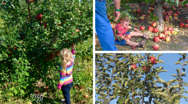 Autumn Apple Picking