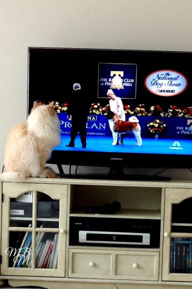 Cat Watching Dog Show